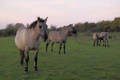 Konik hästar i det löst royaltyfri fotografi