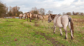 Konik hästar i en lantlig liggande i höst arkivfoto