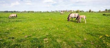 Konik hästar som betar i nytt grönt gräs i vår royaltyfria foton