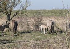 Konik hästar som passerar i vinterlandskapet arkivfoto