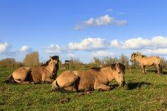 Konik hästar Wageningen royaltyfria foton