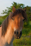 Konik horse royalty free stock images