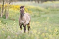 Konik horse. Between yellow flowers Stock Photo