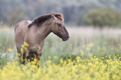 Konik horse Stock Photos