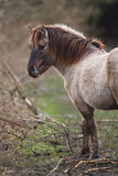 Konik horse. In a national park Stock Photography