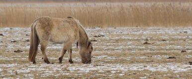 Konik horse Stock Photography