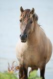 Konik horse Stock Images