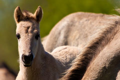 Konik horse foal. Close to his mother Royalty Free Stock Images