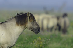 Konik horse on his own Royalty Free Stock Image
