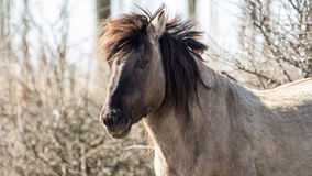 Konik horse Royalty Free Stock Photos