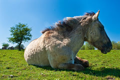 Konik horse lying. On the grass Stock Photography