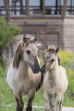 Konik Horse Mother and Child. A Wild Konik Horse with her young in the oostvaardersplassen. Motherly love Stock Photo