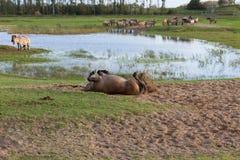 Konik horse rolling in the sand to remove parasites. Dutch National Park Oostvaardersplassen with herd of Konik horses. One horse is rolling in the sand to Stock Photos