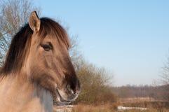 Konik horse in the snow Stock Photos