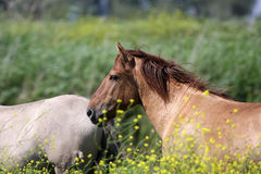 Konik horse stallion Royalty Free Stock Photos