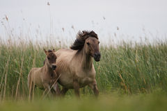 Konik horses. Two konik horses at a reserve Stock Images
