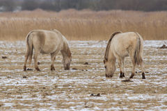Konik horses. Two grazing Konik horses Royalty Free Stock Images