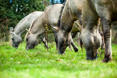 Konik horses. Are eating from the grass Stock Photo
