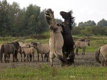 Konik Horses Royalty Free Stock Image