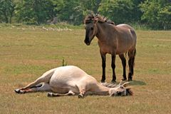 Konik horses Stock Photos