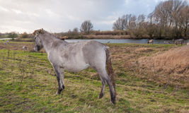 Konik horses in a Dutch nature reserve Royalty Free Stock Photography