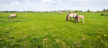 Konik horses grazing in fresh green grass in springtime. Young foal grazes close to its mother in the fresh green. It is a beautiful spring day in a Dutch nature Royalty Free Stock Photos