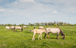 Konik horses grazing Royalty Free Stock Image