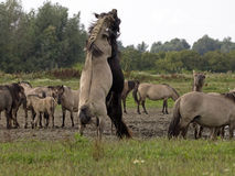 Konik horses Stock Image
