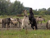 Konik horses Royalty Free Stock Photography