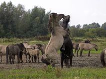 Konik horses Royalty Free Stock Images