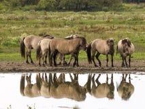 Konik horses Stock Photos
