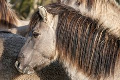 Konik horses in the Oostvaardersplassen - The Netherlands royalty free stock photo