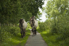 Konik horses Stock Photography
