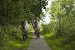Konik horses stock photography
