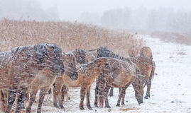 Konik horses in a snow storm. In winter Stock Image