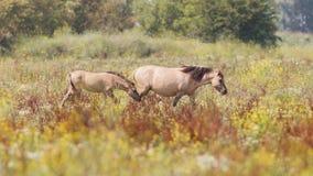 Konik horses royalty free stock photo