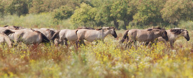 Konik horses stock photo