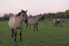 Konik horses in the wild Royalty Free Stock Photography
