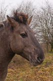 konik koński portret Obrazy Stock