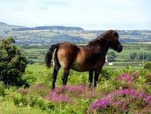 Konik na Murlough Krajowym rezerwacie przyrodym w Północnym - Ireland zdjęcia stock