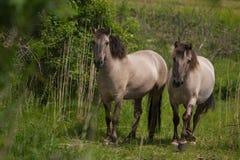 Konik Pferd Stockbild