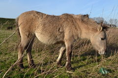 Konik-Pferd Stockfoto