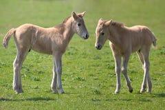 Konik Pferde Stockfoto