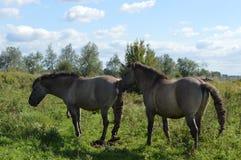 Konik-Pferde in der Naturlandschaft Lizenzfreies Stockfoto