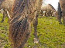 Konik-Pferde, die auf einem Gebiet weiden lassen Stockbilder