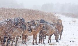 Konik-Pferde in einem Schneesturm Stockbild