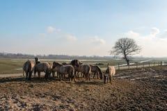 Konik-Pferde im Brabantse Biesbosch Stockfoto