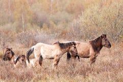 Konik-Pferde in Nord-Groningen stockfoto