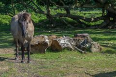 Konik Ponies. Disambiguation The Konik or the Polish primitive horse is a small, semi-feral horse. On Hothfield Heath Kent England Royalty Free Stock Images