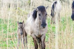 Konik Ponies in the Oostvaardersplassen. stock photo
